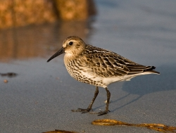 Dunlin photographed at Vazon Bay on 13/9/2007. Photo: © Barry Wells