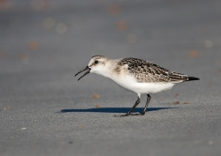 Sanderling photographed at Vazon Bay on 15/9/2007. Photo: © Barry Wells