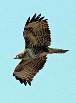 Buzzard photographed at Silbe [SIL] on 19/3/2009. Photo: © Mike Cunningham