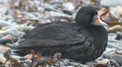 Common Scoter photographed at Belle Greve Bay [BEL] on 0/12/2003. Photo: © Phil Atkinson