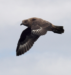 Great Skua photographed at Pelagic [PEL] on 0/8/2007. Photo: © Vic Froome