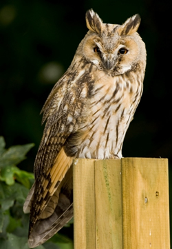 Long-eared Owl photographed at L'Islet [LIS] on 15/7/2008. Photo: © Phil Alexander