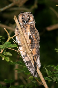 Long-eared Owl photographed at Moulin Huet [MOU] on 0/7/2007. Photo: © Mike Keirle