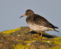 Purple Sandpiper photographed at Cobo [COB] on 10/2/2008. Photo: © Carolyn Brouard