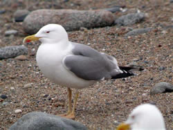 Yellow-legged Gull photographed at Chouet [CHO] on 0/4/2009. Photo: © Paul Veron