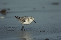 Sanderling photographed at Rocquaine Bay on 18/9/2005. Photo: © Barry Wells