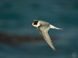 Arctic Tern photographed at Cobo Bay on 5/11/2006. Photo: © Paul Hillion