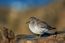 Purple Sandpiper photographed at Vazon Bay on 19/11/2005. Photo: © Barry Wells