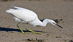 Little Egret photographed at Grande Havre on 4/8/2008. Photo: © Barry Wells