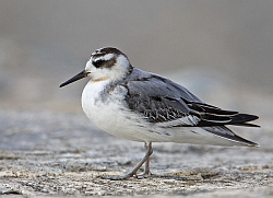 Grey Phalarope photographed at L'Eree on 21/8/2008. Photo: © Barry Wells