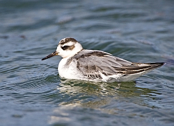 Grey Phalarope photographed at L'Eree on 24/8/2008. Photo: © Barry Wells